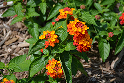 Lucky™ Red Lantana (Lantana camara 'Lucky Red') at Family Tree Nursery