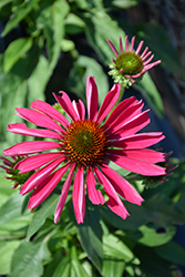 Kismet® Raspberry Coneflower (Echinacea 'TNECHKR') at Family Tree Nursery
