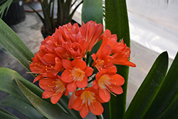 Bush Lily (Clivia x miniata) at Family Tree Nursery