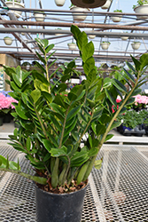 ZZ Plant (Zamioculcas zamiifolia) at Family Tree Nursery