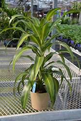Hawaiian Sunshine Dracaena (Dracaena fragrans 'Hawaiian Sunshine') at Family Tree Nursery