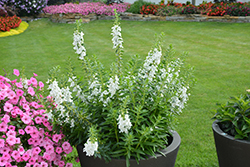 Angelface® Super White Angelonia (Angelonia angustifolia 'Angelface Super White') at Family Tree Nursery