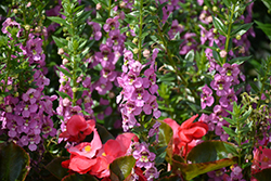 Angelface® Super Pink Angelonia (Angelonia angustifolia 'Angelface Super Pink') at Family Tree Nursery
