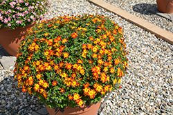 Blazing™ Fire Bidens (Bidens ferulifolia 'Blazing Fire') at Family Tree Nursery
