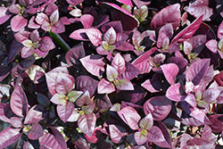 Purple Prince Alternanthera (Alternanthera brasiliana 'Purple Prince') at Family Tree Nursery