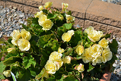 Solenia® Yellow Begonia (Begonia 'Solenia Yellow') at Family Tree Nursery