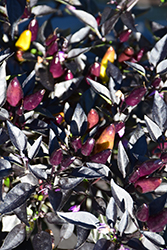 Midnight Fire Ornamental Pepper (Capsicum annuum 'Midnight Fire') at Family Tree Nursery