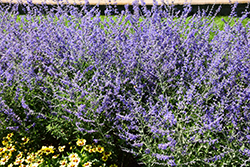 Crazy Blue Russian Sage (Perovskia atriplicifolia 'Crazy Blue') at Family Tree Nursery