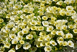 Superbells® Over Easy™ Calibrachoa (Calibrachoa 'KLECA16314') at Family Tree Nursery
