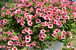 Superbells® Strawberry Punch™ Calibrachoa (Calibrachoa 'USCAL58205') at Family Tree Nursery