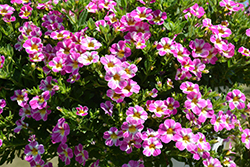 Candy Shop™ Candy Crush Calibrachoa (Calibrachoa 'Candy Shop Candy Crush') at Family Tree Nursery