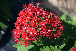Butterfly™ Red Star Flower (Pentas lanceolata 'PAS94611') at Family Tree Nursery