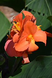 Cannova® Orange Shades Canna (Canna 'Cannova Orange Shades') at Family Tree Nursery