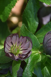 Wedding Party® Dark and Handsome Hellebore (Helleborus 'Dark and Handsome') at Family Tree Nursery