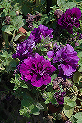Double Wave Blue Velvet Petunia (Petunia 'Double Wave Blue Velvet') at Family Tree Nursery