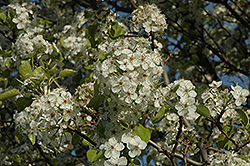 Cleveland Select Ornamental Pear (Pyrus calleryana 'Cleveland Select') at Family Tree Nursery