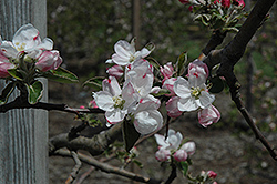 Gravenstein Apple (Malus 'Gravenstein') at Family Tree Nursery