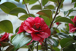 April Tryst Camellia (Camellia japonica 'April Tryst') at Family Tree Nursery