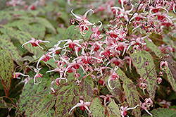 Pink Champagne Fairy Wings (Epimedium 'Pink Champagne') at Family Tree Nursery