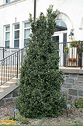 Dee Runk Boxwood (Buxus sempervirens 'Dee Runk') at Family Tree Nursery