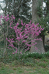 Avondale Redbud (Cercis chinensis 'Avondale') at Family Tree Nursery