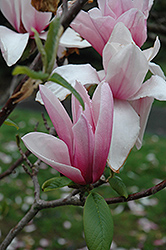 Star Wars Magnolia (Magnolia 'Star Wars') at Family Tree Nursery