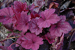 Georgia Plum Coral Bells (Heuchera 'Georgia Plum') at Family Tree Nursery