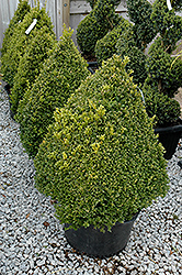 Green Mountain Boxwood (pyramid form) (Buxus 'Green Mountain (pyramid)') at Family Tree Nursery