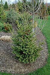 Mac's Golden White Spruce (Picea glauca 'Mac's Golden') at Family Tree Nursery