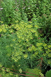 Dill (Anethum graveolens) at Family Tree Nursery