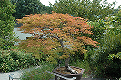 Baldsmith Japanese Maple (Acer palmatum 'Baldsmith') at Family Tree Nursery