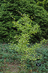 Elmwood Ginkgo (Ginkgo biloba 'Elmwood') at Family Tree Nursery