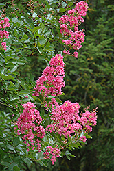 Hopi Crapemyrtle (Lagerstroemia 'Hopi') at Family Tree Nursery