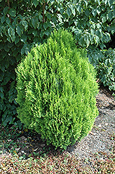 Morgan Oriental Arborvitae (Thuja orientalis 'Morgan') at Family Tree Nursery
