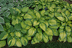 Paradigm Hosta (Hosta 'Paradigm') at Family Tree Nursery