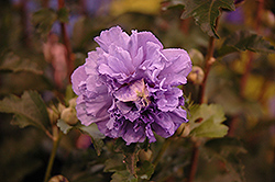 Blueberry Smoothie™ Rose of Sharon (Hibiscus syriacus 'DS01BS') at Family Tree Nursery