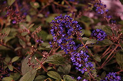 Lo And Behold® Blue Chip Junior Dwarf Butterfly Bush (Buddleia 'Lo And Behold Blue Chip Junior') at Family Tree Nursery