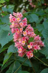 Briotti Red Horse Chestnut (Aesculus x carnea 'Briotti') at Family Tree Nursery