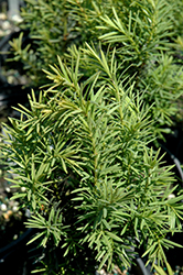 H.M. Eddie Yew (Taxus x media 'H.M. Eddie') at Family Tree Nursery