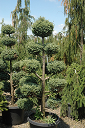 Cyano-Viridis Poodle Form Falsecypress (Chamaecyparis pisifera 'Cyano-Viridis (poodle)') at Family Tree Nursery
