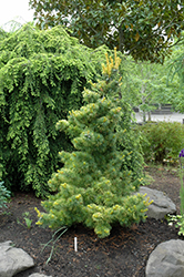 Goldilocks White Pine (Pinus parviflora 'Goldilocks') at Family Tree Nursery