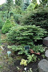 Kelly's Prostrate Coast Redwood (Sequoia sempervirens 'Kelly's Prostrate') at Family Tree Nursery