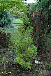 Green Star Umbrella Pine (Sciadopitys verticillata 'Green Star') at Family Tree Nursery