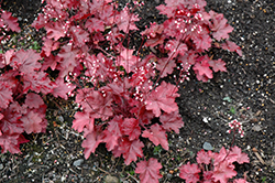 Fire Chief Coral Bells (Heuchera 'Fire Chief') at Family Tree Nursery