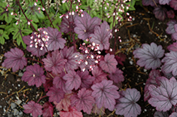 Sugar Plum Coral Bells (Heuchera 'Sugar Plum') at Family Tree Nursery
