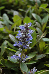 Blueberry Muffin Bugleweed (Ajuga reptans 'Blueberry Muffin') at Family Tree Nursery