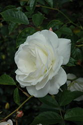 White Licorice Rose (Rosa 'White Licorice') at Family Tree Nursery