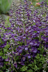 Decadence® Blueberry Sundae False Indigo (Baptisia 'Blueberry Sundae') at Family Tree Nursery