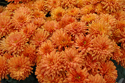 Gigi Orange Chrysanthemum (Chrysanthemum 'Gigi Orange') at Family Tree Nursery