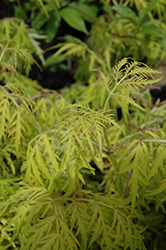 Lemony Lace® Elder (Sambucus racemosa 'SMNSRD4') at Family Tree Nursery